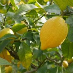 道法レモン