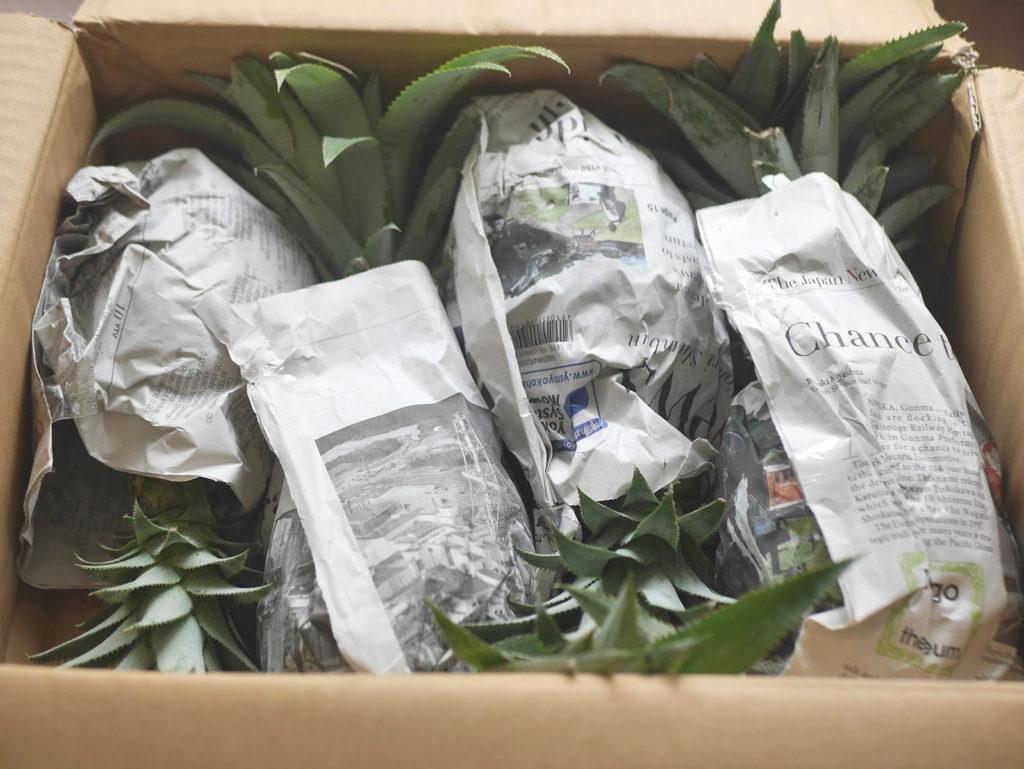 沖縄産 DOHO STYLE パイナップル梱包