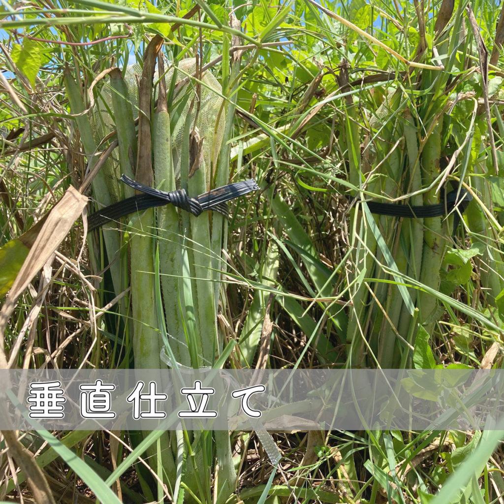 沖縄産 DOHO STYLE パイナップル垂直仕立て